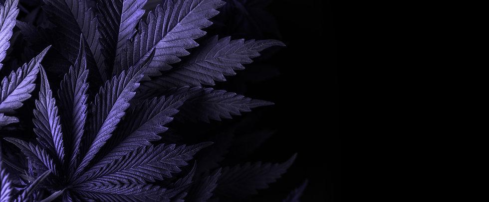 Purple Cannabis Leaves.jpg