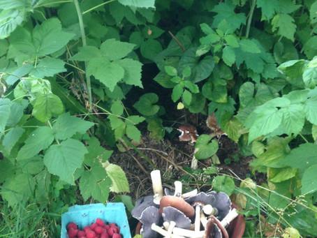 Grow Mushrooms Under Your Raspberries!