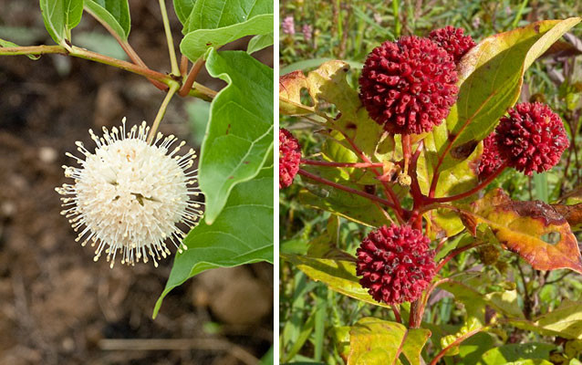 Buttonbush's white, pincushion-like flowers turn into crimson spheres in fall and winter.