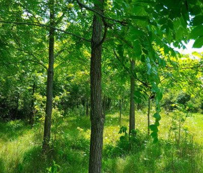 Free Trees to Capture Carbon