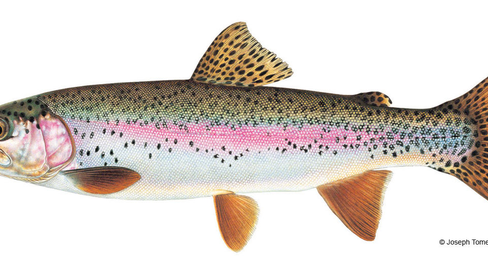 """Rainbow Trout, 10-12"""", lot of 50, delivered"""