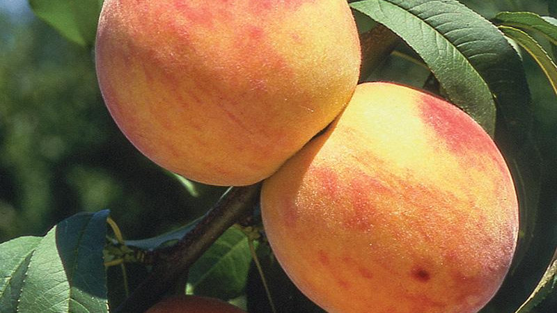 Peach, Reliance