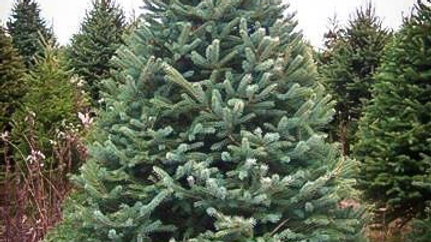 Spruce, White - largest