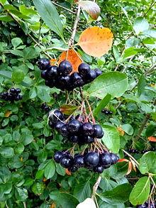 "Aronia melanocarpa ""Black chokeberry"""