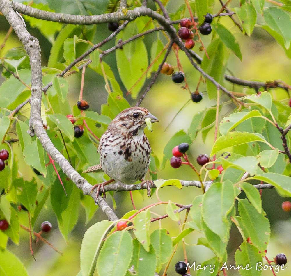 A song sparrow forages a caterpillar from a black cherry tree. Credit: Mary Anne Borge, the-natural-web.org