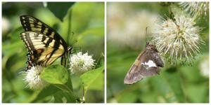 Butterflies love native Buttonbush