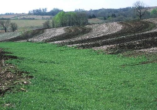 Grassed waterways prevent gullies in crop fields.
