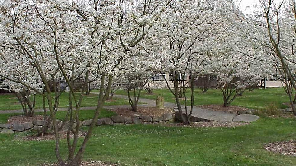 Serviceberry (Juneberry, Shadblow)