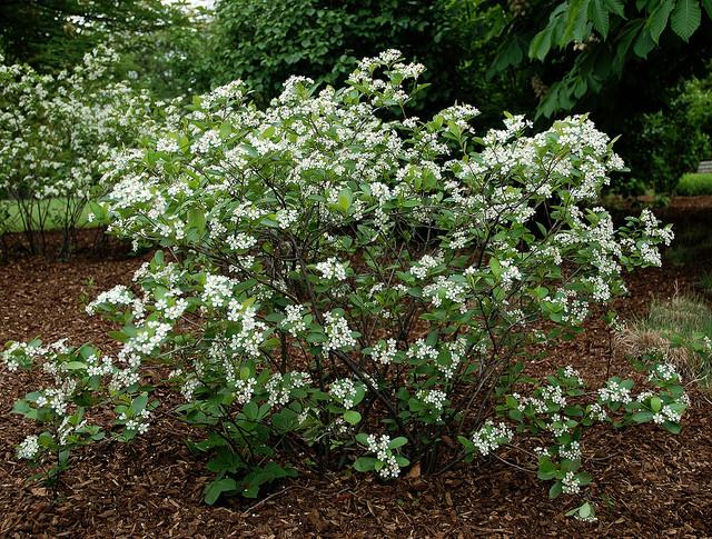 Aronia makes a beautiful, dense shrub with white flowers