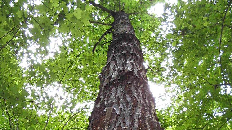 Chestnut, American-Chinquapin cross