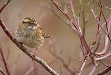Bird in dogwood