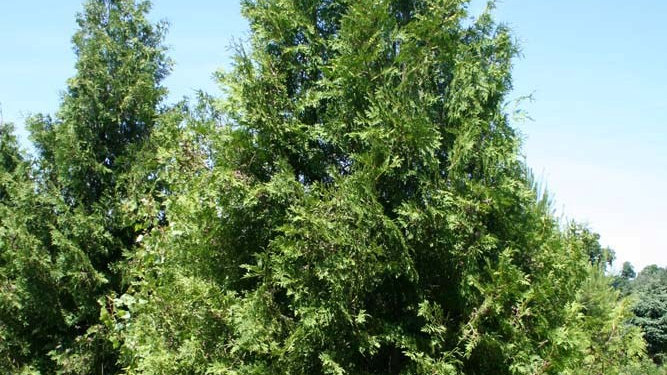 Cedar, Northern White (Arborvitae) (larger)