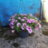 petunia amppeli