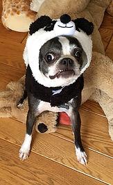 Monkey Boo (Boston Terrier) in Panda Costume