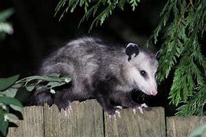 O...Possum