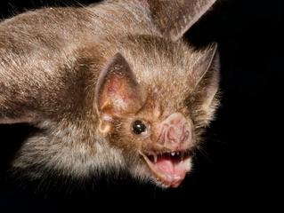 Myths about Bats