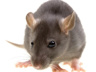 Rodents can be a nuisance…