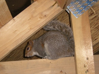 Your Home is No Obstacle for Squirrels