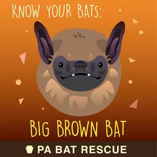 Bat-Detail_Big Brown Bat.jpg