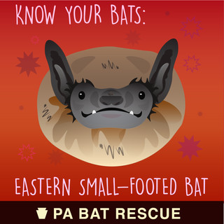Bat-Detail-pa_Eastern Small-Footed Bat.j