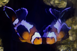 Black Ice Longfin Clownfish