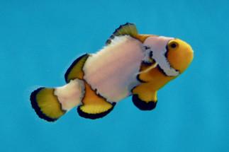 Premium Snowflake Clownfish