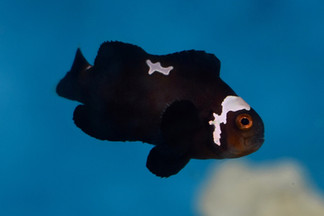 Midnight Lightning Clownfish