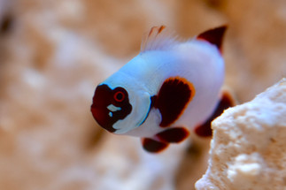 """Resident Gold Nugget Maroon named """"War Paint"""""""