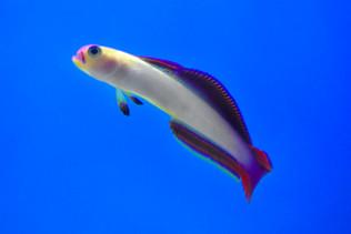 Maldives Purple Firefish