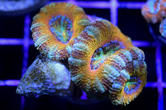 Rainbow Micromussa lordhowensis