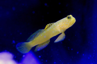 Yellow Watchman Goby at Salty Blues