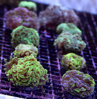 Hammer Coral Frags
