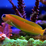 midas-blenny-in-saltwater-reef-tank-M935