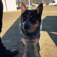 Show cattle dog
