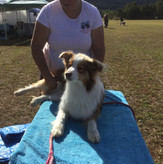 massage border collie