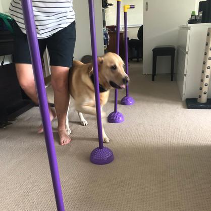 Labrador with hip dysplasia