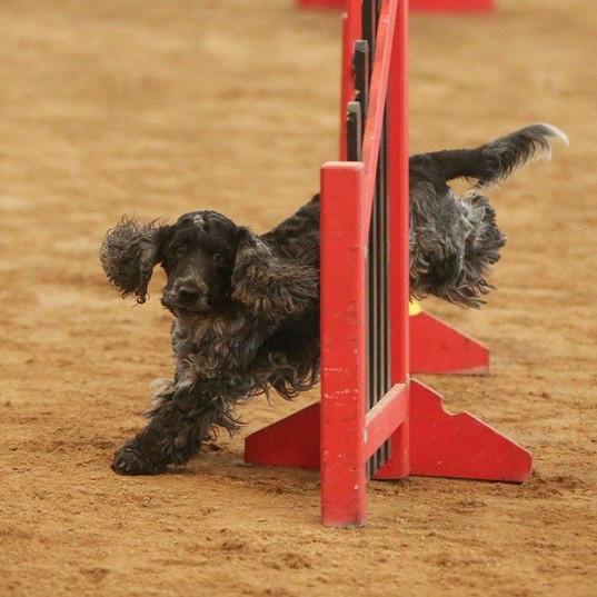 Jaxon doing agility