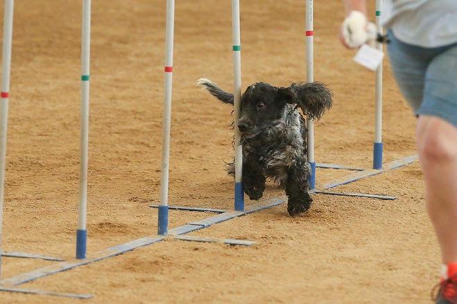 Agility dogs.JPG