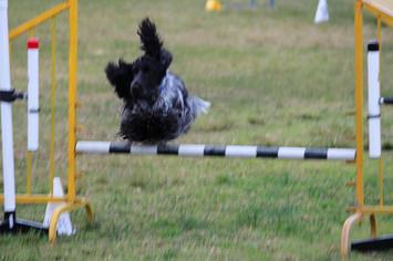 agility doggies.jpg