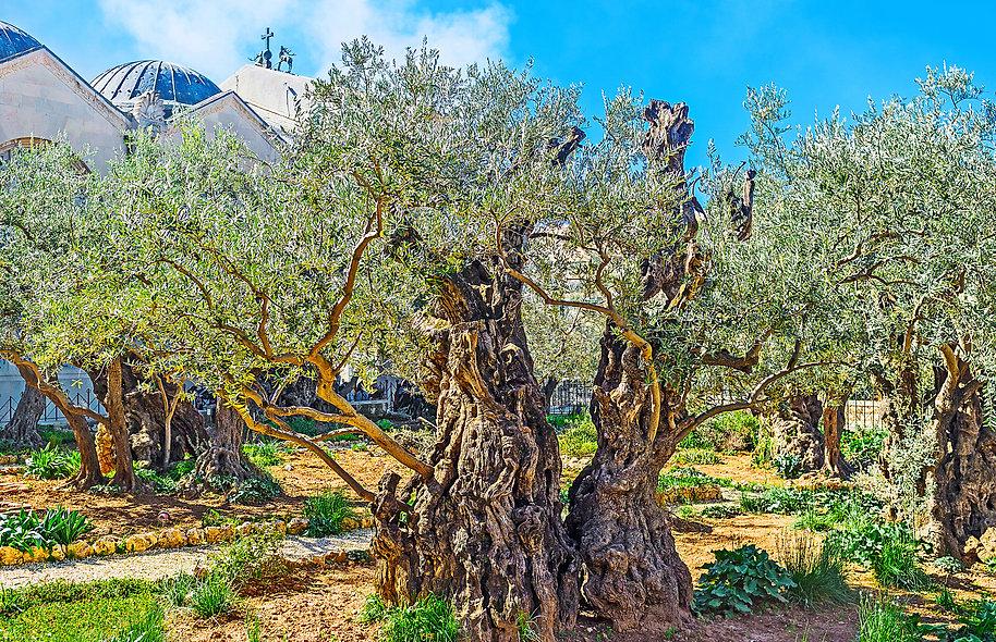 The Gethsemane Garden in Jerusalem is th