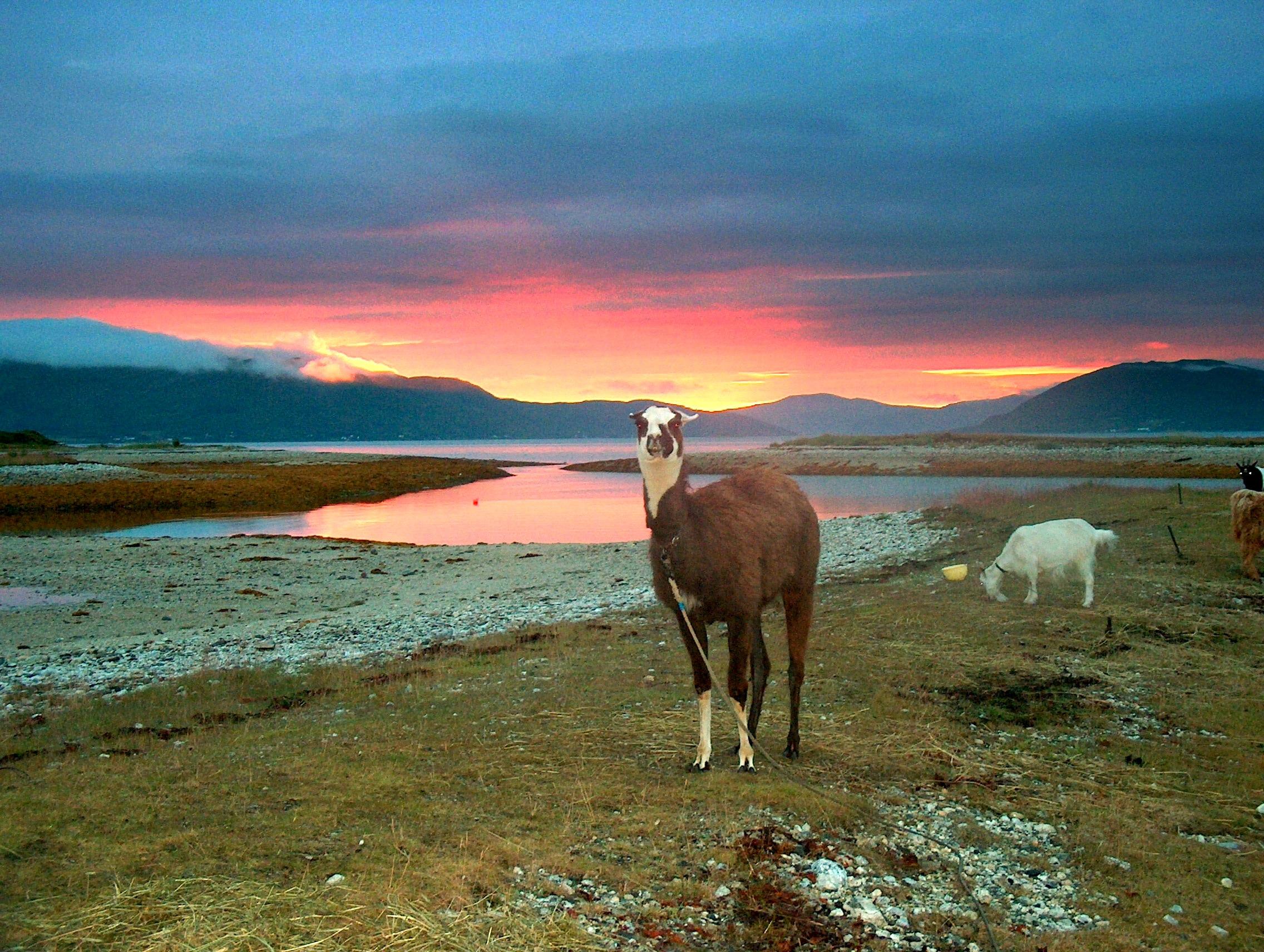 Lama i solnedgang.jpg