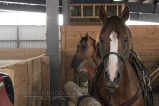 Horses Tied 2