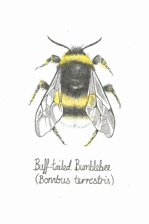 Buff Tailed Bee Print