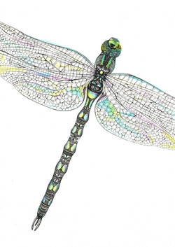 cropped dragonfly