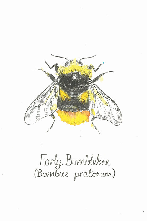 Early Bumblebee