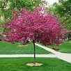 royal-raindrops-crabapple-young-tree-2-4