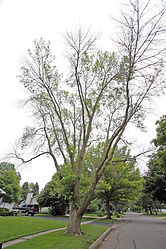 dying ash tree 2.jpg