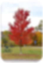 autumn fantasy maple rounded.jpg