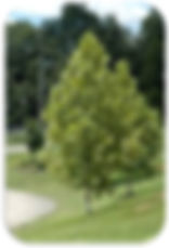 plane tree rounded.jpg
