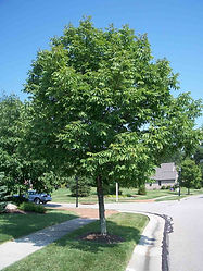 healthy ash tree 1.jpg